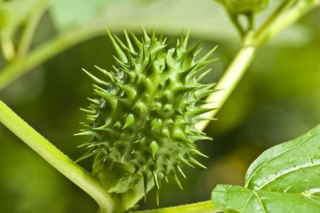 thorn-apple of jimson weed