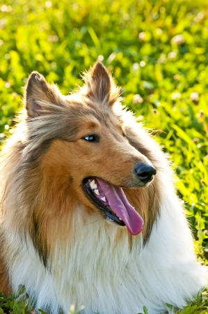American truebred collie dog photo