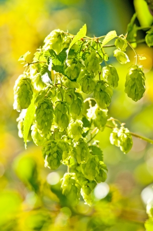 humulus: hop with colorful, blurred background