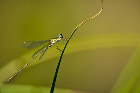 elegans: blue-teailed damselfy, Ischnura elegans