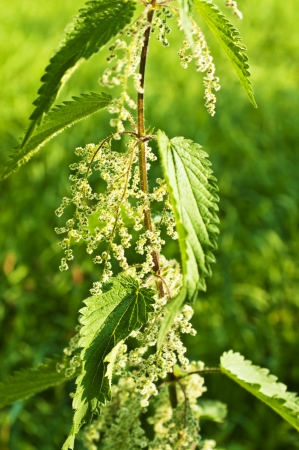stinging-nettle with seeds Stock Photo - 15540416