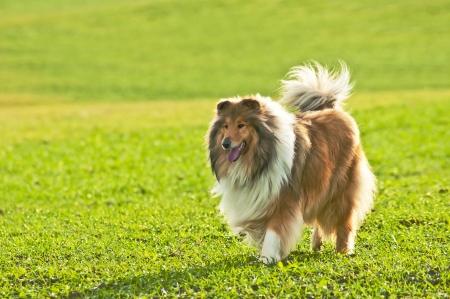 true bred: collie