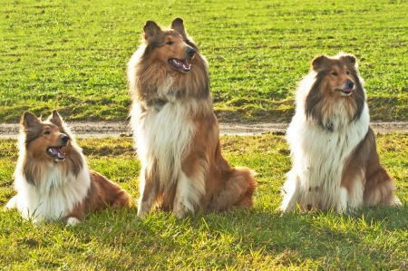 true bred: American and British collie dogs