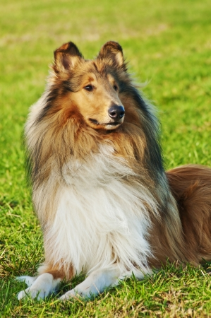Collie dog photo