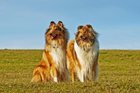 アメリカと国ひコリー犬 写真素材