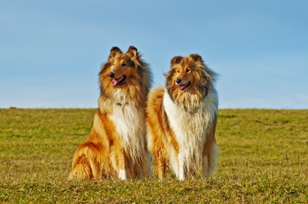 American and britisch collie dogs photo