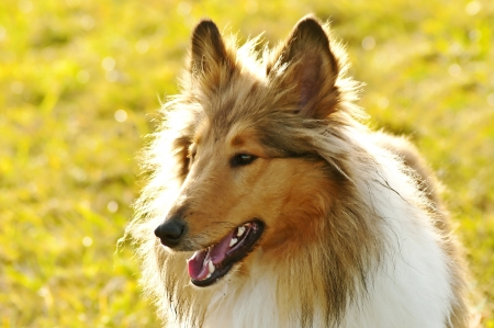American true-bred collie dog photo