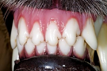 animal teeth: dog teeth