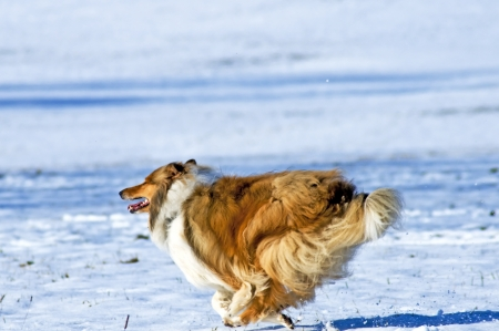 true bred: Collie dog in snow