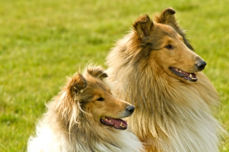 American collie dogs photo