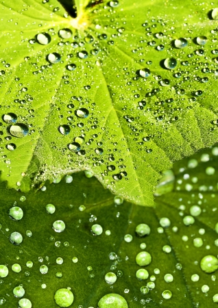 Medicine plant lady s mantle with dew drops photo