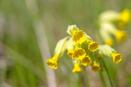 cowslip: cowslip, Primula veris