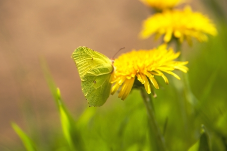 brimstone butterfly, Gonepteryx rhamni photo