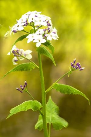 gilliflower: Hesperis matronalis, damask violet