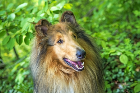 puppydog: Collie dog