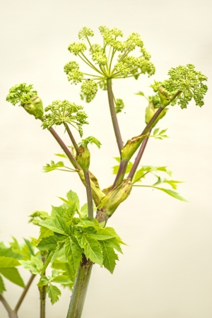 Angelica medicine plant and food