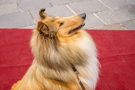 lassie: collie dog sitting on red carpet