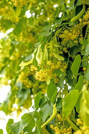 herbalism: lime-tree blossom