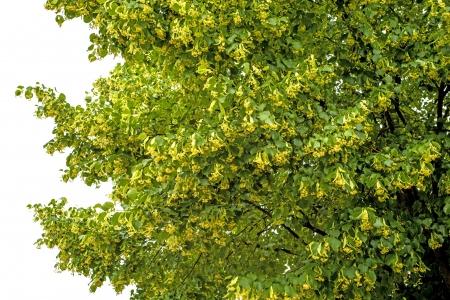 lime-tree blossom photo
