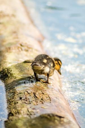 the offspring: pato silvestre con los hijos