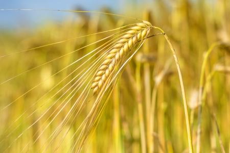 barley Stock Photo - 20616807