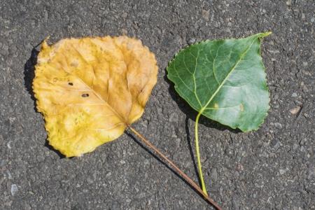 young leaf: viejos y j�venes hojas de un �lamo
