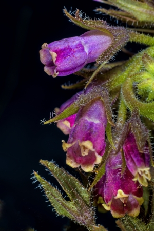 comfrey photo