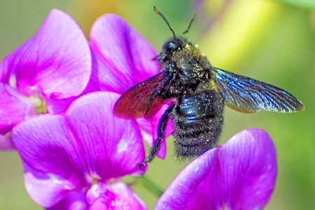 Carpenter bee, Xylocopa violocea, on vetch photo