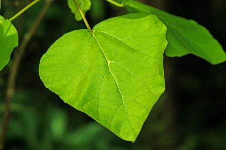 catalpa: chinese medicine tree Catalpa