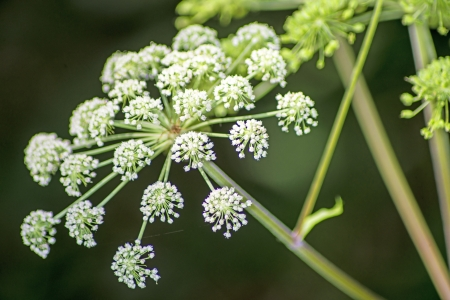 abbeys: angelica, old medicinal plant of the European abbeys