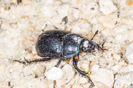 geotrupes: dung beetle, Geotrupes stercorosus Scr.