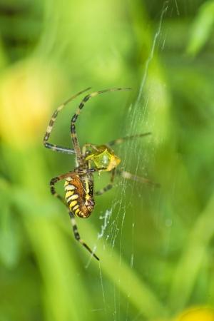 bruennichi:  wasp spider, Argiope bruennichi,