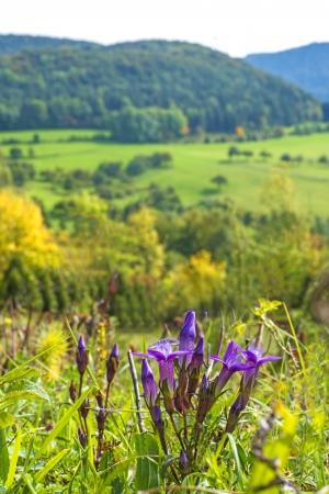 swabian: Chiltern gentian, Gentianella germanica Stock Photo