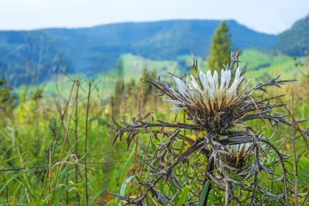 Carline thistle on the Swabian Alb photo