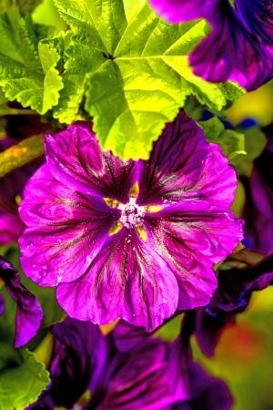 medicinal plant: mallow, medicinal plant