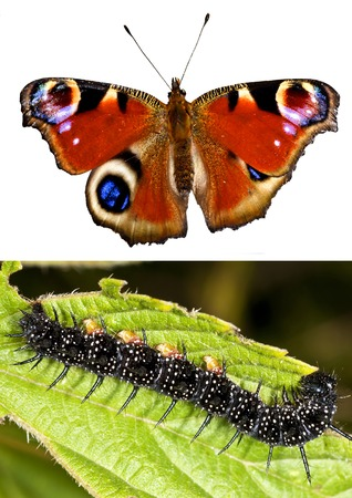 io: Peacock butterfly with eruca