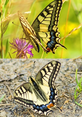 machaon: swallowtail butterfly, Papilio machaon Stock Photo
