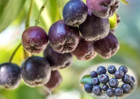 choke: Black choke berry