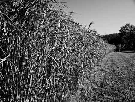 environmen: The renewable resource switch grass for  heating and production of diesel
