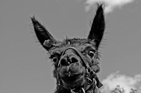 Alpaca, Vicugna pacos photo