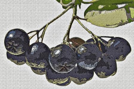 chokeberry: Black choke berries Stock Photo