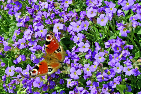 peacock butterfly: Peacock mariposa en Aubrieta