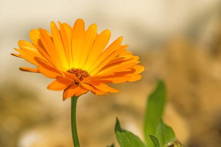 カレンデュラ、薬用植物