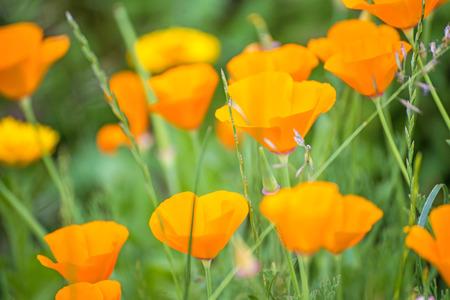 californian:  Californian poppy
