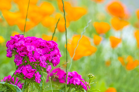 californian: Clove with Californian poppies