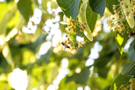 limetree: lime-tree blossom with bee Stock Photo