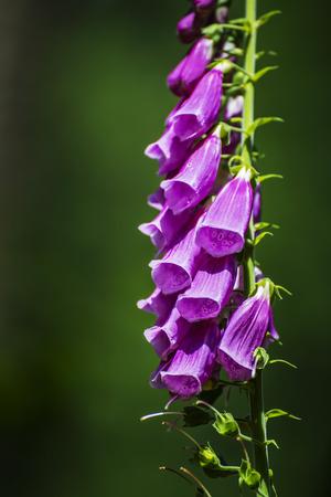 purpurea: purple foxglove, digitalis purpurea Stock Photo