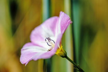 arvensis: field bindweed, Convulvus arvensis