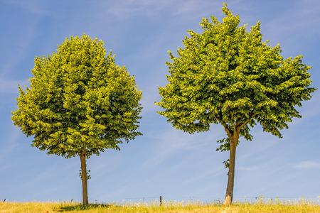 limetree: lime-tree blossom