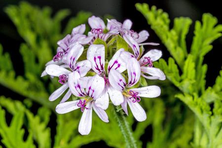 pelargonium: Scented Leaved Pelargonium